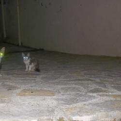 Gatti di Corfù